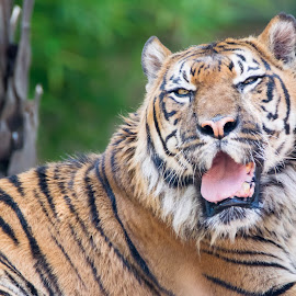 Sumatran Tiger by Mark Hewetson - Animals - Cats Portraits ( big cat, zoo, tiger, sumatra, stripes,  )