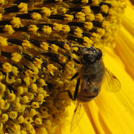 Bee on Sunflower by Manny Tovim - Animals Insects & Spiders (  )