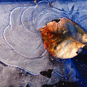 Leaf frozen in ice by Gerry Slabaugh - Nature Up Close Other Natural Objects ( nature, pattern, cold, ice, leaf, frozen, closeup,  )