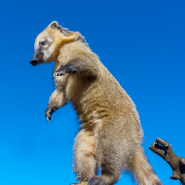 Standing Coati by Lajos E - Animals Other Mammals ( exercise, forest, log, woods, procyonidae, nasua, coati, carnivore, sky, tree, blue, stand, south-american, gymnastic, animal,  )