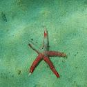 Mediterranean red sea star