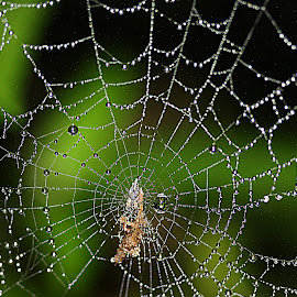 by Carmen Quesada - Nature Up Close Webs ( webs, patterns, nature up close, spider, lines, droplets )