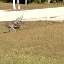 Florida Sandhill Crane ( Two )