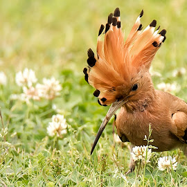 Common hoopoe by Partha Sarkar - Animals Birds ( bird, common hoopoe, hoopoe, birds,  )