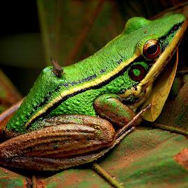 Green frog by Dwi Prasetyo Hariyanto - Animals Amphibians