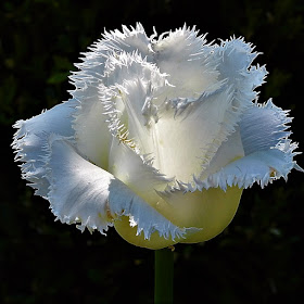 flower white tulip (2).JPG