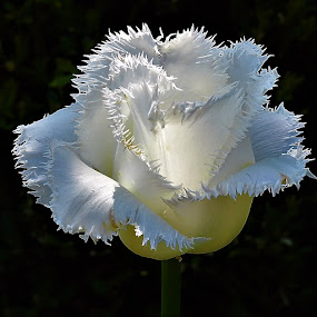 Lacy white tulip by Mary Gallo - Flowers Single Flower ( macro, white tulip, nature, nature up close, tulip, flower,  )