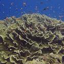 Cabbage Corals