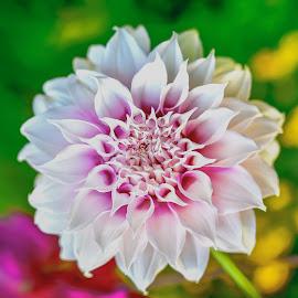 Magenta Dahlia #3 by Jim Downey - Flowers Single Flower ( magenta, green, white, dahlia, yellow )