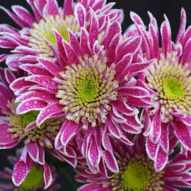 Dampened Flames by Gillian James - Flowers Flower Arangements ( water drops, chrysanthemums, chrysanthemum, pink, flowers )
