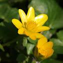 Lesser celandine,Fig buttercup