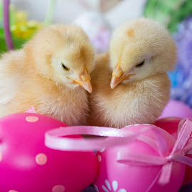 by Brandi Nichols - Public Holidays Easter ( farm, bird, easter, poultry, chickens, chicks, birds,  )