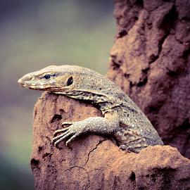Reptile by Rajendran C - Animals Reptiles