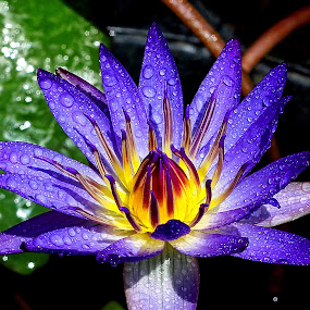 Blue Lotus ! by Edwin Teow - Nature Up Close Flowers - 2011-2013 ( lotus, nature, waterdrops., flowers, garden, blue lotus, flower )