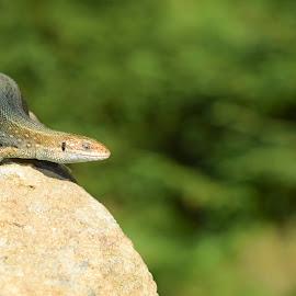 Viviparous Lizard by Cristina Pelcaru - Animals Reptiles ( wild, reptiles, animals, lizard, mountain, wildlife, juvenile, zootoca )