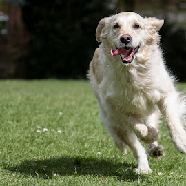 Daisy Playing by Chris Knowles - Animals - Dogs Running