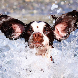 Cooling off on a hot Summers day by Gareth Evans - Animals - Dogs Portraits ( ears, spaniel, water, splash, dog, fun,  )