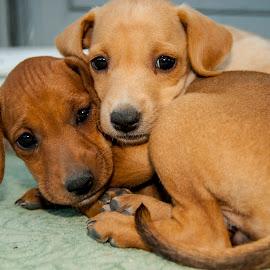 brothers.. by Olga Katsivelidou - Animals - Dogs Puppies