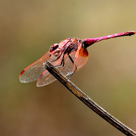 Trithemis annulata by Ricardo Costa - Animals Insects & Spiders ( libélulas, odonata, portugal, dragonflies )