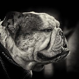 Chill by Bojan Bilas - Black & White Animals ( bulldog, black and white, fine art photography, fine art, dog )