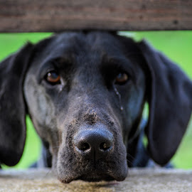 My precoius by Josipa Strnišćak - Animals - Dogs Portraits ( labrador, animal, black dog, portrait, dog, love animals )