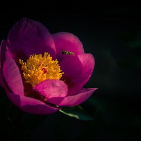 Peonia by Karin Wollina - Flowers Single Flower ( blumen, botanischer garten, nature, mai 2015, pink, peonia, flower,  )