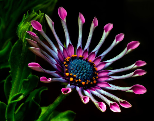 South African Daisy by Peter Greenhalgh - Nature Up Close Flowers - 2011-2013 ( black background, south african daisy, blue-eyed daisy, osteospermum, multi colors, opening petals )