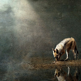 Night Prowler by Bjørn Borge-Lunde - Digital Art Animals ( wild animal, wilderness, nature, wildlife, africa, jackal, animal )