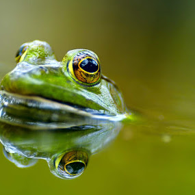 The watcher by Launa Bodde - Animals Amphibians