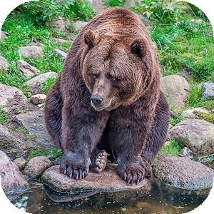 Download free Bear Wallpapers Full HD (backgrounds & themes) for PC on Windows and Mac