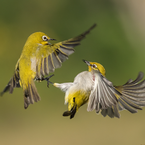 Fun in Air by Jineesh Mallishery - Animals Birds ( bird, wildlife, india, fun, animal )