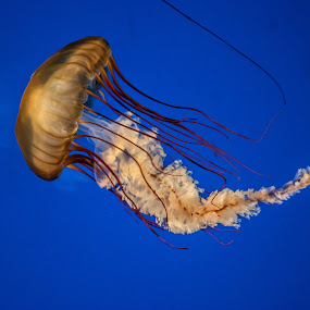 wild blue yonder by Tim Hauser - Animals Sea Creatures ( nature, art, fine art, jelly fish, animal )