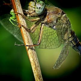 predator by Dunja Kolar - Animals Insects & Spiders ( maksimir, predator, croatia, zagreb )
