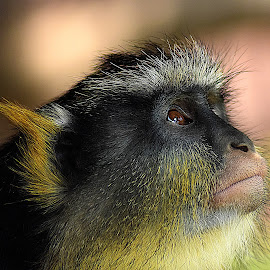 Wolf's Guenon by Shawn Thomas - Animals Other Mammals