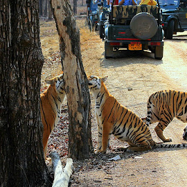 Road block.. by Soham Chakraborty - Animals Lions, Tigers & Big Cats ( big cat, predator, national park, tiger, wildlife, gypsy )
