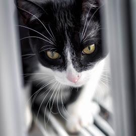 Between the Curtains by Nick Kelleher - Animals - Cats Kittens ( cat, kitten, loki, canada, toronto, lightroom, dof, light, portrait, animal )
