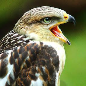 Le cri de la buse by Gérard CHATENET - Animals Birds