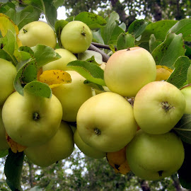 Ready to Pick by Linda Doerr - Nature Up Close Gardens & Produce ( fruit, apple tree, ripe, apples, yellow, branches,  )