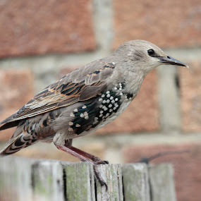 Starling by Mick Heywood - Animals Birds ( bird, fence, starling, young bird, close-up )
