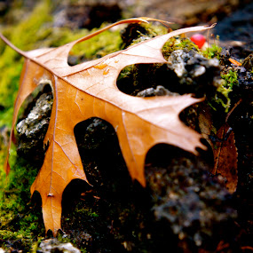 Fall After Rain by Tracy Marie - Nature Up Close Leaves & Grasses ( fall leaves on ground, fall leaves )