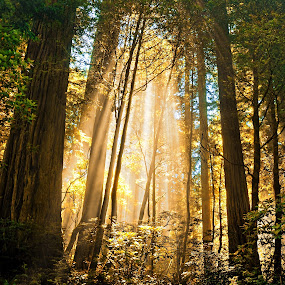 deep forest 2 by Thomas Born - Nature Up Close Trees & Bushes ( red woods, nature, trees, forest, sun rays, , save the forests worldwide, forests, Northern California, Golden Gate Bridge, Bay Area, Coit Tower, bay bridge, Wine Country, Napa, Sacramento, beach )