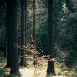 by Denny Gruner - Landscapes Forests ( plant, nobody, wood, botany, little, leaf, botanical, landscape, sun, tree, nature, mystical, fresh, lonely, lit, wild, green, mysterious, forest, scenic, growing, sunlight, rural, environmental, environment, color, summer, day )