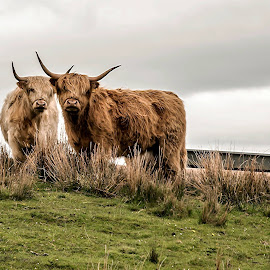 Shaggy Cattle by Diane Ljungquist - Animals Other Mammals
