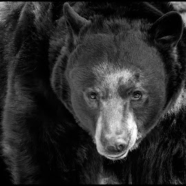 Black Bear by Dave Lipchen - Black & White Animals ( black bear )