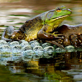 by Ryan Bunting - Animals Amphibians ( water, reflection, floating, pond, bull frogs )