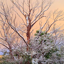 by Anne Andrews - Novices Only Flowers & Plants ( ghost tree, tasmania, beautiful, australia, hobart, rare snowfall )
