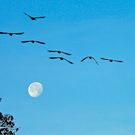 Moonset Geese by Campbell McCubbin - City,  Street & Park  Vistas ( moon, tree, blue, canada geese, geese )