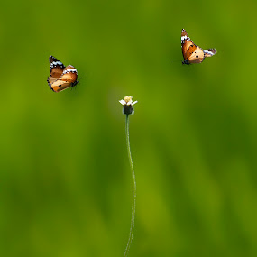 Love Triangle by Ravikanth Kurma - Animals Insects & Spiders ( animal, butterfy )