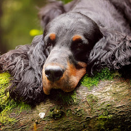 Don't try and understand me with your logic, feel me with your soul. by Ken Jarvis - Animals - Dogs Portraits ( gordon setter, dog portrait, setter, dog, woods )