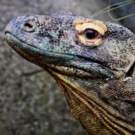 A Living Dragon by Scott Stolsenberg - Animals Reptiles ( komodo, land, dragon, reptile, lizard )